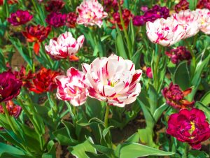 BOWRAL TULIP TIME SET-UP